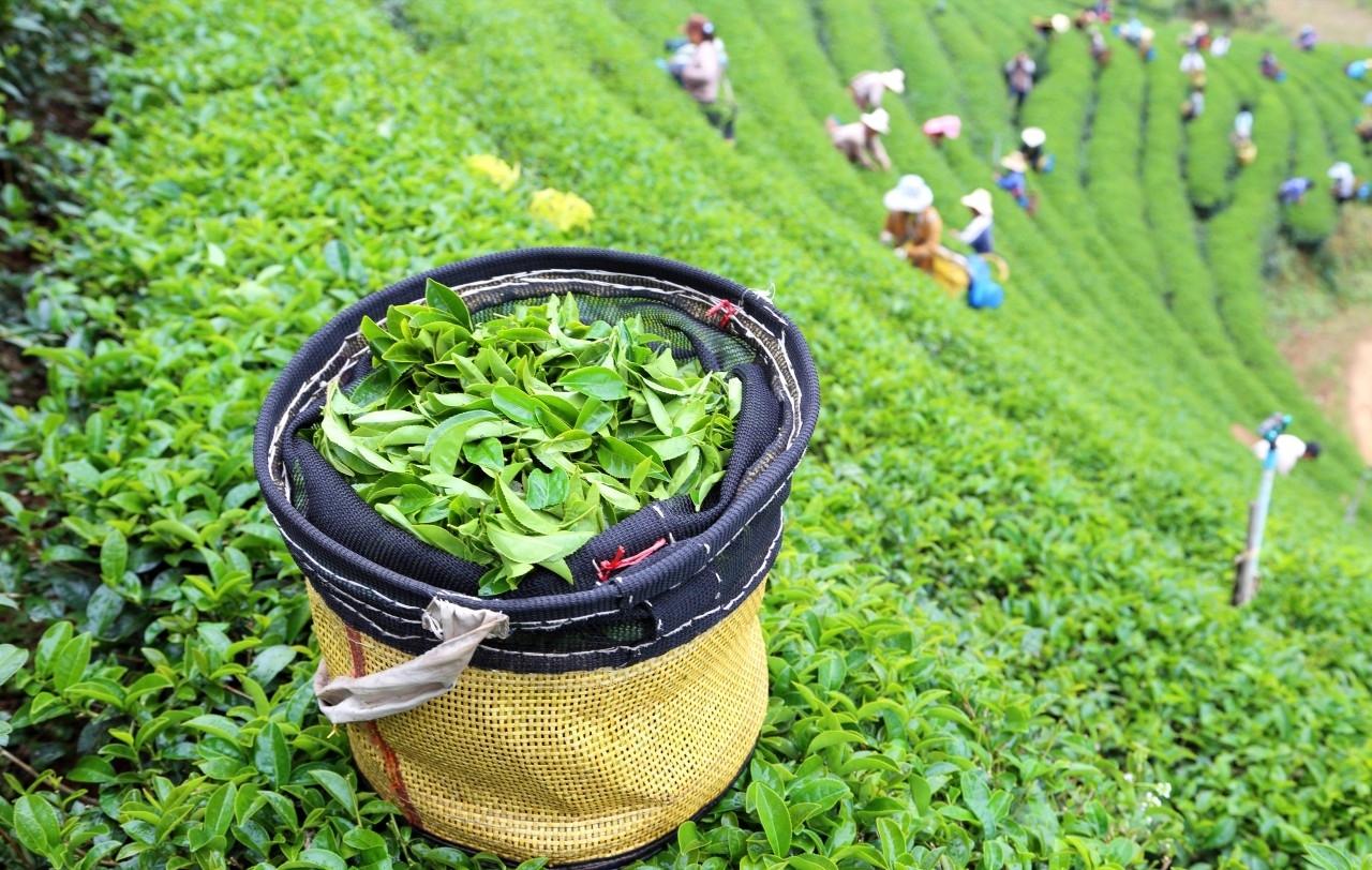 Выращивание зелёный чай 30
